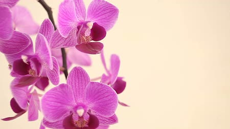 essence of flowers : Beautiful rare orchid in pot on white background Stock Footage