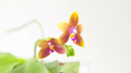 появление : Beautiful rare orchid in pot on blurred background