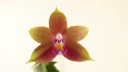 lényeg : Beautiful rare orchid in pot on blurred background