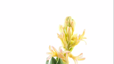 появление : beautiful white flower hyacinth on white background