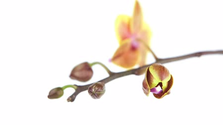 lényeg : Beautiful rare orchid in pot on white background Stock mozgókép