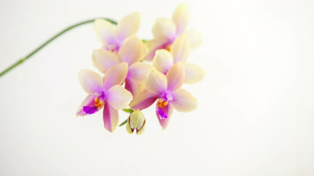 Beautiful rare orchid in pot on white background Stok Video