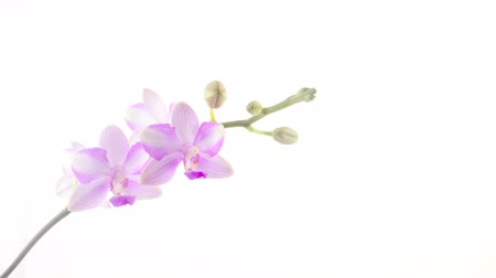 появление : Beautiful rare orchid in pot on White background