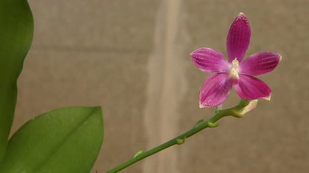 violacea : Beautiful rare orchid in pot on white background Stock Footage