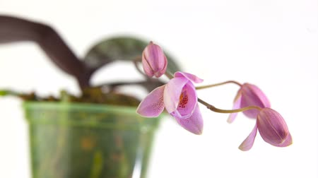 Beautiful rare orchid in pot on white background Stock mozgókép