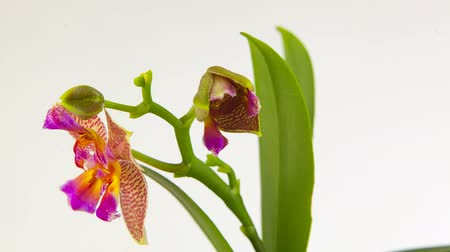 появление : Beautiful rare orchid in pot on white background Стоковые видеозаписи