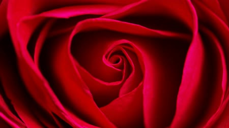 Роуз : Close up of red rose can use for background, Top view circle tracking motion realistic cinema, film, movie shot Стоковые видеозаписи