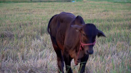 dairy cattle : Farmers interpret cow in the field after harvesting to provide food
