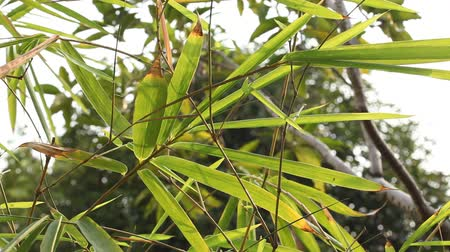 Bamboo leaves and sunlight in the evening, Natural light background