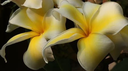Yellow Frangipani flowers in natural light