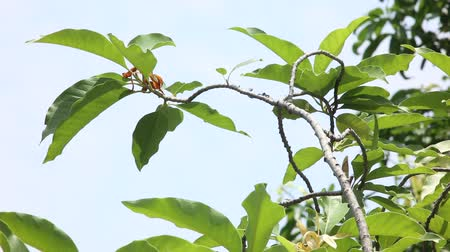 White Champaka tree in natural light (Michelia alba DC.)
