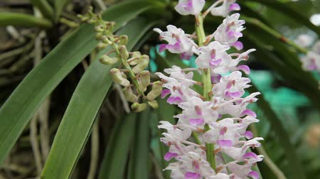 houseplant : Epidendrum retusum L. or Rhynchostylis retusa (L.) Blume, Beautiful orchids