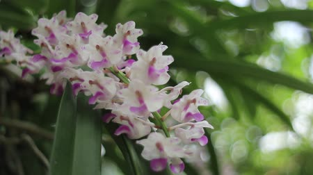 sto : Epidendrum retusum L. or Rhynchostylis retusa (L.) Blume, Beautiful orchids