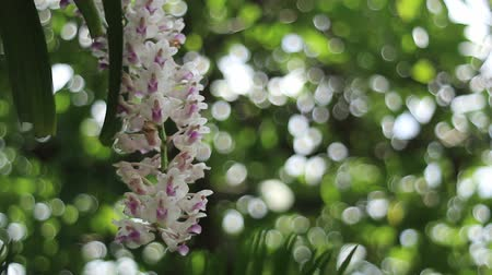 orchidee : Epidendrum retusum L. of Rhynchostylis retusa (L.) Blume, Mooie orchideeën Stockvideo