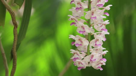 хрупкость : Epidendrum retusum L. or Rhynchostylis retusa (L.) Blume, Beautiful orchids