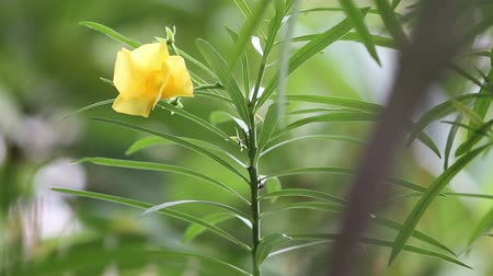 Trumpet Flower, Yellow Campanilla, Yellow Oleander, Lucky Nut in natural light