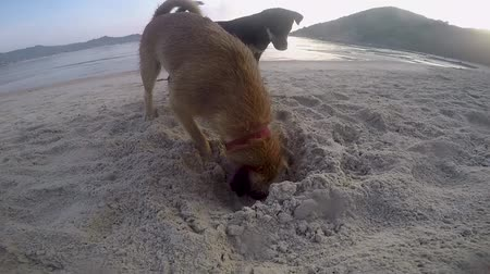 questão : Two dogs are playing on the beach. Digging the sand on Beach by the Sea.