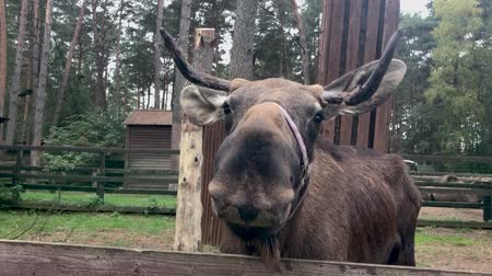 alce : Moose is behind the fence. A close-up shot of an animal chewing the grass.