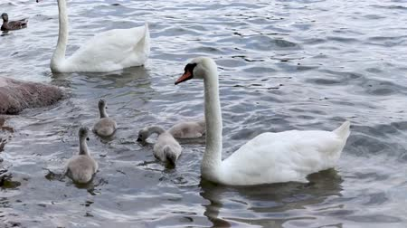 A family of swans with four small chicks are swimming in a pond. Wideo