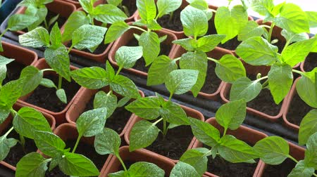 brotos : Fertilizing pepper seedlings in containers. Soluble fertilizers are dissolved in water and applied as a solution. Vídeos