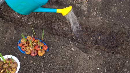 floriculture : Gardener watering the garden beds before planting bulbs of gladiolus.