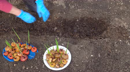 floriculture : A woman in blue gloves planting a gladiolus bulbs in the soil in the backyard.