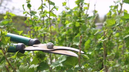смородина : Pruning of black currant bushes in the spring.