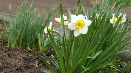 żonkile : A strong wind blows on the daffodils growing in the backyard. Wideo