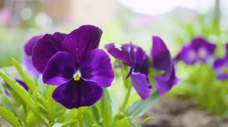 maceška : Violet flowers pansies, growing in the backyard. Dostupné videozáznamy