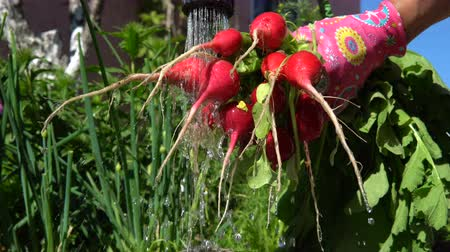 rabanete : A woman gardener in pink gloves washes root radish collected from the garden bed. Close up.