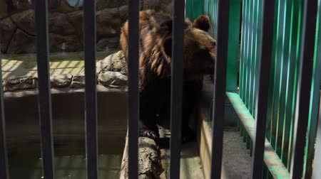 kafes : Ursus arctos. A young brown bear walks around the cage in the zoo.