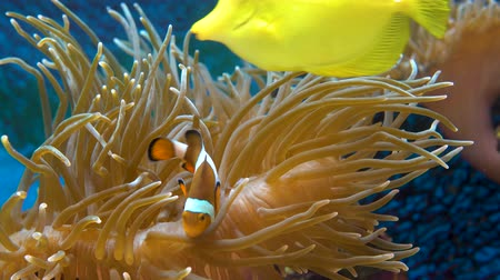 red sea anemonefish : Orange clownfish. Amphiprion percula swims between the tentacles of the sea anemone. Close up. Stock Footage