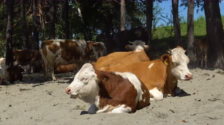 goa : A herd of cows on the sandy shore of a mountain river in the shade of a tree. Stock Footage