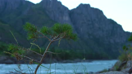 derű : A lone pine tree stands on the bank of a mountain river. A weak wind is blowing. Stock mozgókép