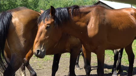 padok : Horses of brown color stand in a wooden pen. Stok Video