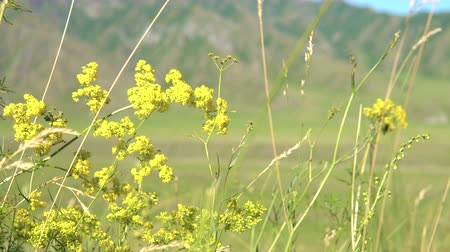 homeopathic : The medicinal plant Galium verum (ladys bedstraw) sway in the wind in the field among the grasses. In the background a mountain range. Stock Footage
