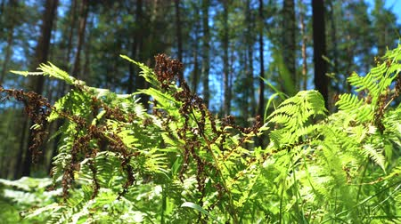 varenblad : The dried fronds of the forest fern are lit by the bright sun.