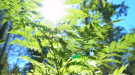 kapradina : The sun shines through the leaves of the fern growing in the forest. Close up.
