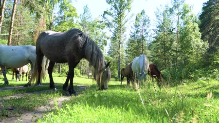 明るく照らされた : Horses graze in the woods in a glade brightly lit by the sun.