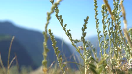 stříbřitý : The grass of wormwood waving in the wind in the mountains against the background of a blurred blue sky.