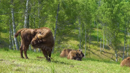 búfalo : European Bison in conditions of a Reserve among birch trees.