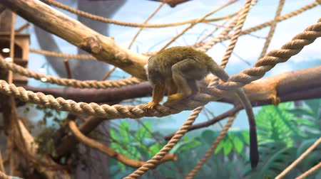 squirrel : Common squirrel monke (Saimiri sciureus) in the glass cage of the zoo.