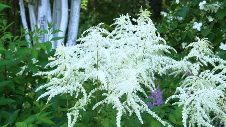 marfim : White Astilbe flowers sway in the wind in the public city park. Stock Footage