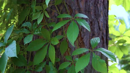 Виргиния : Liana of Virginia creeper (Parthenocissus quinquefolia) grows next to the pine in the public city park. Стоковые видеозаписи