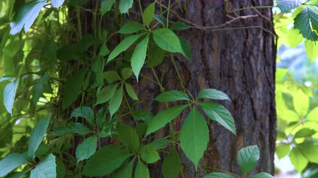 five : Liana of Virginia creeper (Parthenocissus quinquefolia) grows next to the pine in the public city park. Stock Footage