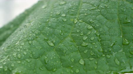 dissolução : A close-up of water droplets on a cucumber leaf. Add fertilizer to cucumbers in the greenhouse. Soluble fertilizers are dissolved in water and applied as a solution.