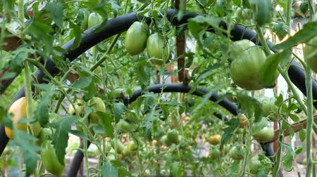 weinblätter : Green unripe fruits of tomatoes. Tomato cultivation in the greenhouse.