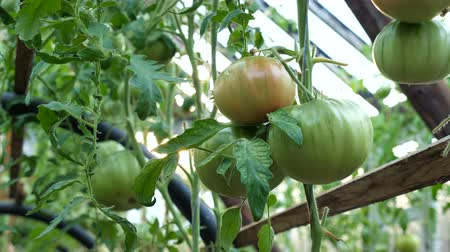unripe : Green unripe fruits of tomatoes. Tomato cultivation in the greenhouse.