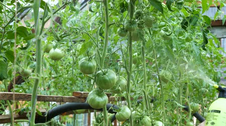 püskürtücü : Liquid top dressing (fertilizer) of tomato plants in a greenhouse using a sprayer. Soluble fertilizers are dissolved in water and applied as a solution.