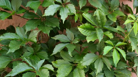 Виргиния : Five-leaved ivy (Parthenocissus quinquefolia, Virginia creeper) on the pink wall of the house.